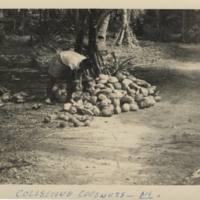 Collecting Coconuts - Ni