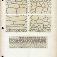 Page 51 – Epidermal and hypodermal layers of the leaf