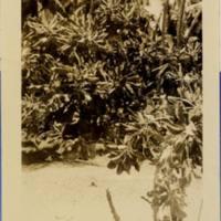 Arno 1950