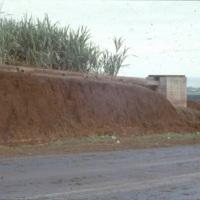 Sugarcane next to a road