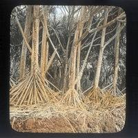 Pandanus trees