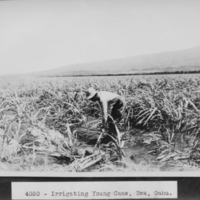 Irrigating Young Cane