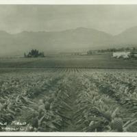 [100] Pineapple Field