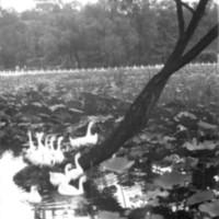 191. Purple Palace swans, Peking