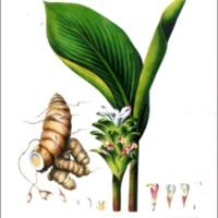 Curcuma amarissima