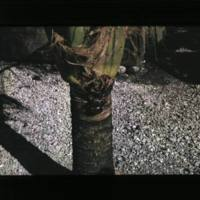 Two shots of a coconut crab. [2nd shot]