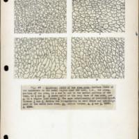Page 31 – Epidermal cells of the stem node
