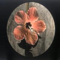 Hibiscus bloom, orange-red