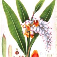 Alpinia nutans
