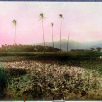 Rice field with scarecrow - colorized photograph