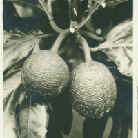 [101] Breadfruit