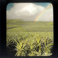 Pineapple field and rainbow
