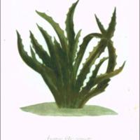 Ananas folio sinuato