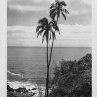 Two palm trees on cliff by ocean
