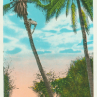 [050] Climbing Coconut Tree, Hawaiian Islands