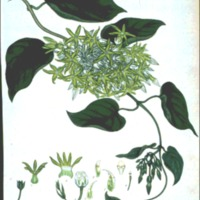 Pergularia odoratissima