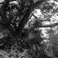 124. Banyan roots (chiaroscuro), Honam Island