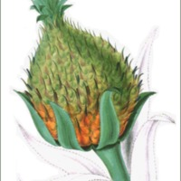 Ananassa sativa