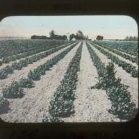 Vineyard: ブドウの畑地