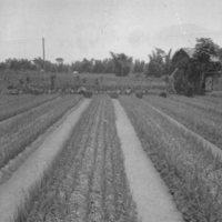 061. Garlic, Honam Island
