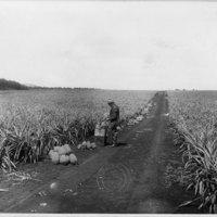 Mr. W.B. Thomas First Planting in Kunia