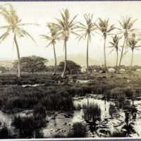 Marsh or rice field surrounded by coconut trees
