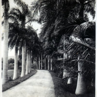 Drive or track lined by  royal palms