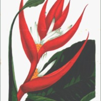 Heliconia braziliensis