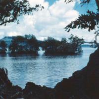 Mangrove, Dublon [Tonoas]. Truk. Sept. 1950