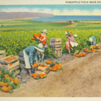 [046] Pineapple Field Near Honolulu, T.H.