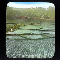 Rice fields with nascent growth