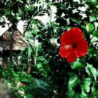 Hibiscus near thatched house. (S-4070b.04).