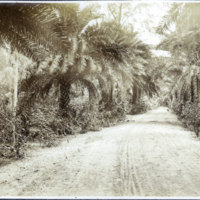 Dirt road lined by palm trees