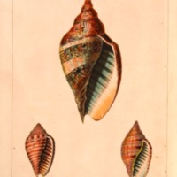 Conchology, or The Natural History of Shells:…