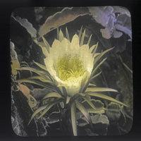 Cereus flower closeup