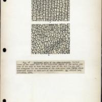 Page 30 – Epidermal cells of the stem internode