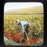Farmer irrigating sugarcane crop