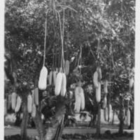 [059] Sausage Tree