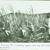 [098] Cutting Sugar Cane
