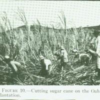 [098] Cutting Sugar Cane
