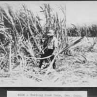 Cutting Seed Cane