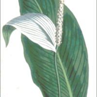 Pothos cannefolia