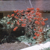 Red tree in a yard