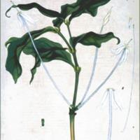 Gardenia tubiflora