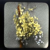 Hanging blossoms of Cassia fistula - golden shower tree