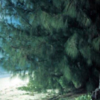 Ironwood tree outside Mr. Ernest Holt's on Saipan,…