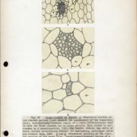 Page 46 – Fiber-strands in leaves