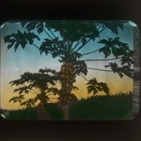 Papaya trees: マモンの木