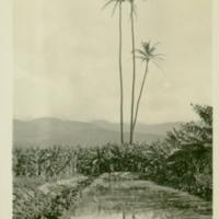 [039] Banana and Taro Farm