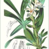 Cymbidium ochroleucum